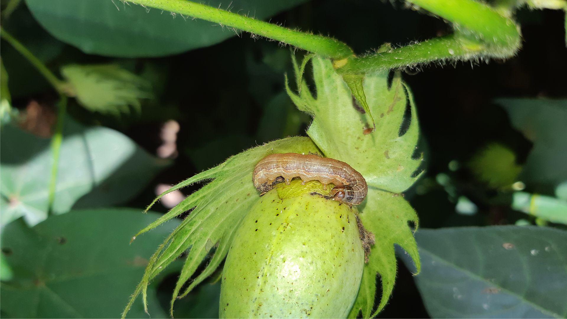 Lagarta Spodoptera atacando maçã